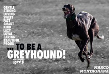 Greyhounds,lurchers,whippets etc / by Debbie Benson