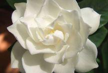 gardenia гардения