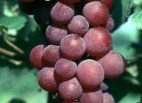 Mari Menanam Anggur