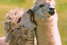 llamas / by Amanda Holley