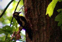 My woodpeckers / Spechten in Arnhem, park Klarenbeek.