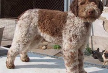 Lagotto / by Barb Smith