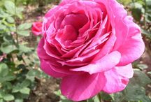 Еnglish roses