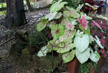 Caladiums -- Perfect Shade Plant / Caladiums fare well here in shady Valley View.