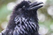 Corvids / Crows, Ravens