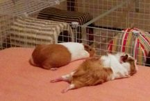 lovely sleep guinea pigs