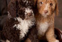 Spanish Waterdogs / Waterdogs