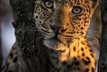Big felines eyes