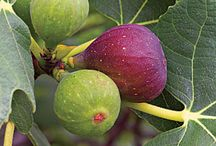 Growing figs trees