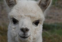 Alpacas / Alpacas - big, little, young, old. All incredibly cute!