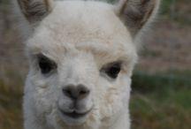 Alpacas / Alpacas - big, little, young, old. All incredibly cute!
