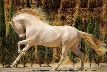 Konie / Perlino