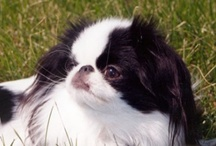 Japanese Chin - a board for Chin lovers / A board for Japanese Chin Lovers.  They are just the sweetest little beings.   / by Mieko2