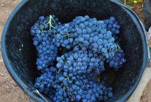 Vendanges / Septembre et Octobre: les mois cruciaux pour les vignerons!