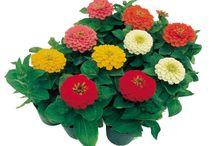 Flori cultivete
