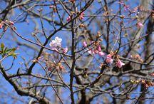 伊豆の桜 2017