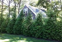Evergreen tree shade tolerant