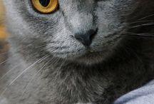kočka modrá