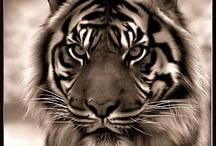 #tigrisek#oroszlánok#nagymacsekok#