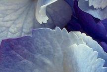 hidrangea