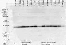 HSP40 Staining and Localization
