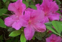 Encore Azalea Collection / Encore Azaleas are unique in that they bloom in spring and again in summer and fall. If you are looking to buy Encore Azaleas online, Wilson Bros Gardens ships all 30 varieties. All of our Encore Azaleas are very healthy, fully-rooted, container grown plants at very reasonable prices, which are ready upon arrival to plant and thrive for years to come in your landscape and gardens - GUARANTEED!