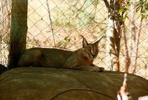 Our Caracals / Small but fierce cat!