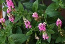 Gardening perennials / by Janice Benson