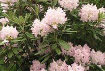 Alppiruusut & atsaleat / Rhododendrons & atzaleas