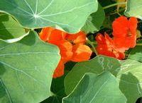 Herbes aromatiques et fleurs / Recettes avec les herbes et fleurs de nos jardins.