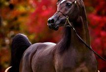 Cavallo Arabo......fra miti e leggende