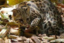 Tigrina / Cat
