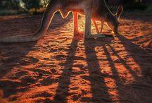Kangoroos and Wallabys