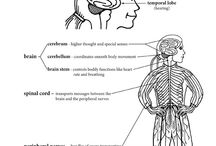 Body Systems: Nervous