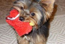 Yorkie Health & Safety / Important info for Yorkie parents