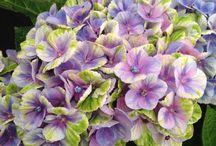 Hortensiat / Hydrangeas