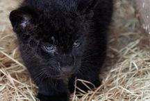 Jaguars / Black and cute