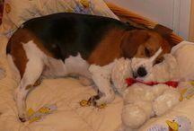 Beagle Lili & Tódor