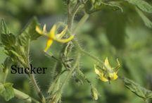 Tomatoes or veggies growing infos