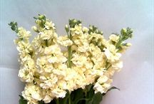 Yellow/cream flowers