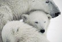 Polar bears !!