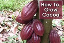 Cocoa how to grow
