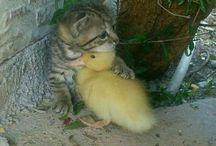 Cat an duck
