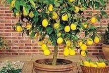 Limon büyütmeliyiz