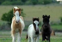 Falabella horses