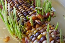 Thanksgiving....Indian Corn/Maize