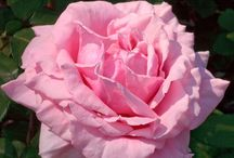 Rose Frederic Mistral ® Meitebros / Rose dédiée à Frédéric Mistral