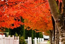 Red Trees....Tress with red leaves in the fall / by Chele Dugger