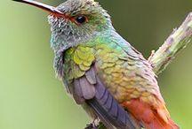 hummingsbird