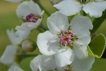 Груша цветение